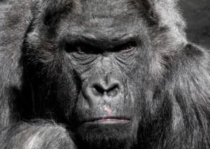gorilla新作腕時計